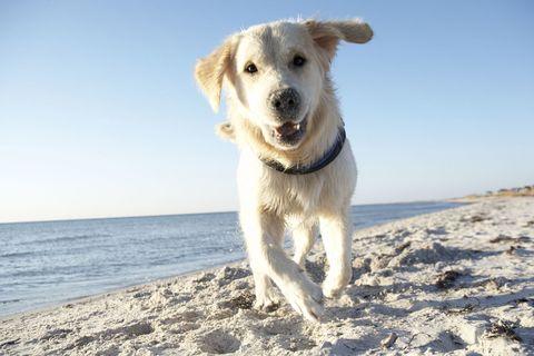 Labrador on beach