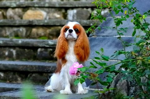 Cavalier King Charles Spaniel sitting on stair