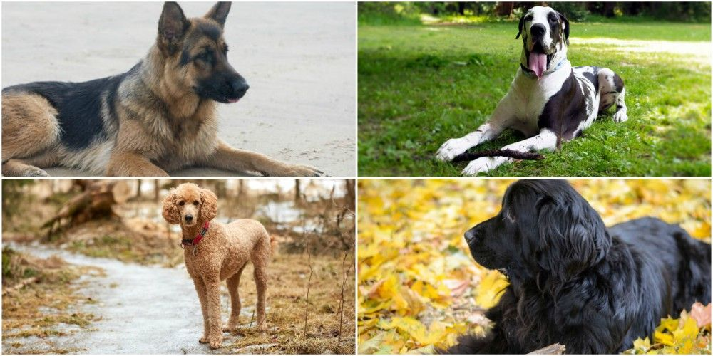 7 best dog breeds for introverts and shy people