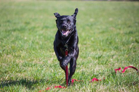 Dog running on lead