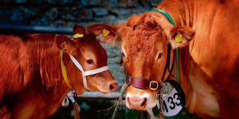Organism, Bovine, Vertebrate, Terrestrial animal, Amber, Dairy cow, Snout, Rural area, Fawn, Orange,