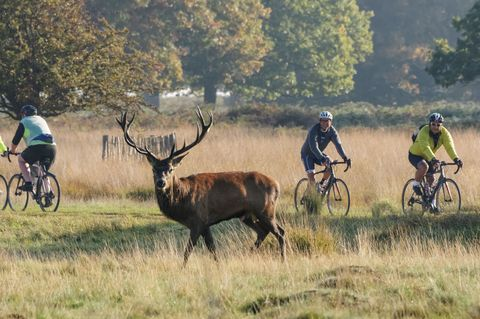"<p><span>Richmond Park in <a href=""http://www.countryliving.co.uk/homes-interiors/property/g364/london-house-museums-to-visit/"" target=""_blank"" data-tracking-id=""recirc-text-link"">London</a> comes in as the second most Instagrammed cycling spot in the UK, with 2,987 cyclists sharing photos. The main trail route takes you on a 12km journey around the circumference of the park and offers some challenging sharp climbs as well as long gradual inclines.&nbsp;It's no doubt, though, that the parks popularity with the Instagram cycling community is in part also due to its roaming wild dear and wildlife. Not only are the surroundings great, but the family-friendly nature of the park makes it perfect for those looking for a cycle that would suit all ages and abilities.</span><span></span></p>"