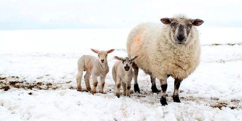 lamb sheep snow