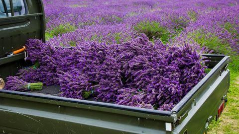 "<p>""Lavender is easy to grow,"" says David Salman of <a target=""_blank"" href=""http://www.highcountrygardens.com/"">High Country Gardens</a>. ""It thrives in hot, sunny locations with well-drained, alkaline soil."" </p><p>To extend the season, combine several varieties. Hardy Lavandula angustifolia, or English lavender, blooms early and is adaptable to cooler, more humid areas. Hybrid varieties, such as 'England' and 'Silver Frost', enjoy a longer blooming season, as do Intermedia French hybrids, including L. x intermedia 'Grosso' and 'Provence', which also flower late and are especially treasured for their perfume. </p><p>Whether you plant it in the garden or in pots, you'll soon discover lavender's many virtues. Take note: Lavender needs well-drained soil to flourish. If your soil is heavy, amend it by adding one part sand and gravel to one part native soil, and plant in berms to further help with drainage. </p><p>Lavender, such as cultivars of tender L. stoechas, does well in pots. Choose a well-draining potting soil recommended for containers.&nbsp;Fertilise organically every other week.</p><p>When cutting lavender, clip where the foliage begins. In mid-spring, prune winter damage and cut back about a third of it to keep it from getting leggy. ""The ideal time to harvest lavender is when one-third to one-half of the spike is in bloom,"" says David. </p>"