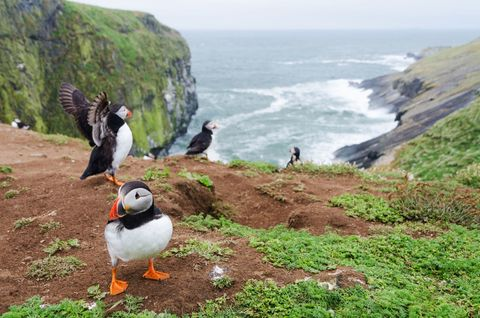 Skomer Island bird watching Wales