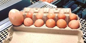 Stockman's Eggs - Facebook - huge hen egg