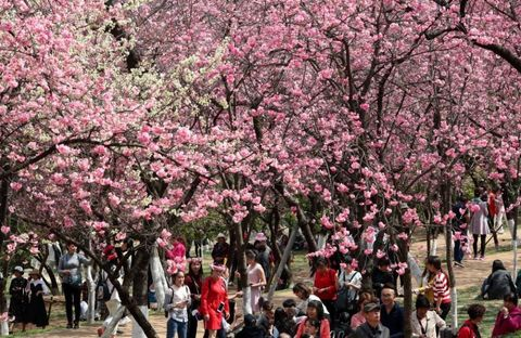 Cherry blossoms in Kunming, Yunnan Province of China