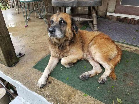Dog, Mammal, Vertebrate, Canidae, Dog breed, Carnivore, Leonberger, Moscow watchdog, Estrela mountain dog, Rafeiro do alentejo,