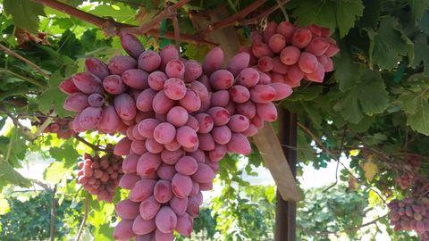delish-rock-it-grapes