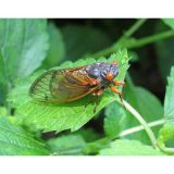 "<p>The cicadas are coming. After a 17-year cycle, the bugs will be back in action this summer, invading warm regions where the species called Brood II is typically found. One chef plans to take advantage of the infestation and is planning a cicada-inspired menu at his Connecticut restaurant.</p>  <p><a href=""http://www.delish.com/food/recalls-reviews/chef-cook-cicada-menu""><b>Read the Whole Story</b></a></p>"