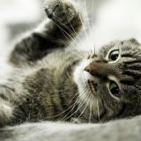 """<p>Just as Frank and Millie can benefit from grooming with olive oil, so can Fluffy and Mittens. According to <a href=""""http://www.curbly.com/Chrisjob/posts/1799-25-alternative-uses-for-olive-oil"""" target=""""_blank"""">curbly.com</a>, add a teaspoon of olive oil to your cat's food to help prevent hairballs, as well as promote a shiny, healthy coat. Olive oil is likely to be more gentle on a cat's system than petroleum-based anti-hairball lubricants. Plus, it has the benefit of coming from a renewable resource, as opposed to oil from the ground.</p>"""