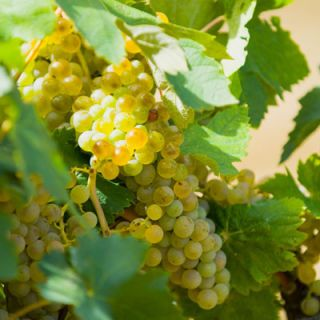 <p><b>Chardonnay:</b> This is the most important white-wine grape grown in California. It has been the most successful white grape in the state, yielding a wine of tremendous character and magnificent flavor. Chardonnay is always dry, and benefits from aging more than any other American white wine.</p><br />  <p><b>Sauvignon Blanc:</b> Sometimes you'll see this labeled as Fumé Blanc. California Sauvignon Blanc makes one of the best dry white wines in the world. It is sometimes aged in small oak barrels and occasionally blended with the Sémillon grape.</p><br />