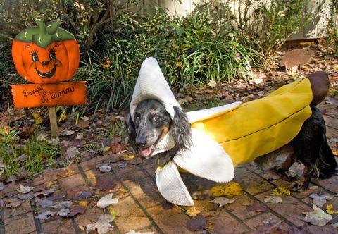 banana dog costume & 20+ Cute Dog Halloween Costumes - Food Inspired Costume Ideas for ...