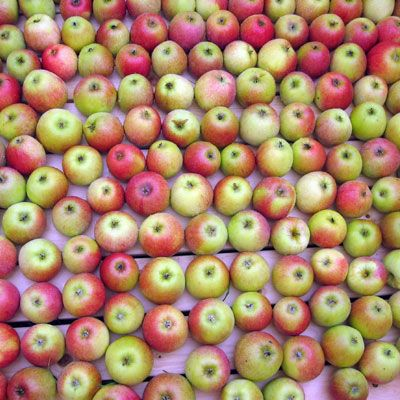 Apple harvest season runs from August through November with some varietals like Gravensteins coming to markets as early as the end of July. The rest of the year, these fruits are available thanks to cold storage.