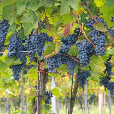 <p><b>Cabernet Sauvignon:</b> This is considered the most successful red grape in California. Almost all California Cabernets are dry, and depending upon the producer and vintage, they range in style from light and ready to drink to extremely full-bodied and long-lived.</p><br />  <p><b>Pinot Noir:</b> Pinot Noir is usually less tannic than Cabernet and matures more quickly, generally in two to five years. The three top counties for Pinot Noir are Sonoma, Monterey, and Santa Barbara.</p><br />  <p><b>Zinfandel:</b> Over the past 30 years, Zinfandel has developed into one of the best red varietal grapes. The only problem in choosing a Zinfandel wine is that so many different styles are made. Depending on the producer, the wines can range from a big, rich, ripe, high-alcohol, spicy, smoky, concentrated, intensely flavored style with substantial tannin to a very light, fruity wine.</p><br />  <p><b>Merlot:</b> This grape produces a soft, round wine that generally does not need the same aging as a Cabernet Sauvignon. It is a top seller at restaurants, where its early maturation and compatibility with food make it a frequent choice by consumers.</p><br />  <p><b>Syrah:</b> The up-and-coming red grape in California is definitely Syrah. This grape has a spicy, robust flavor. It's a perfect grape for California because it thrives in sunny, warm weather.</p><br />