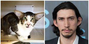 Animals that look like celebrities: Adam Driver/Cat