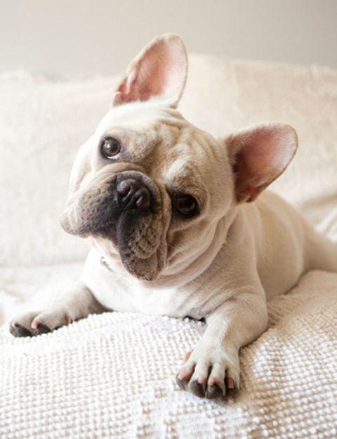 Skin, Vertebrate, Dog, Carnivore, Mammal, Pink, Snout, Toy dog, Linens, Fawn,