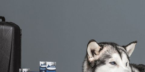 Dog, Sled dog, Carnivore, Snout, Grey, Luggage and bags, Fur, Dog breed, Baggage, Whiskers,