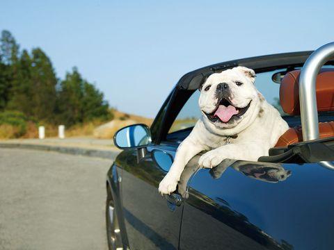 Mode of transport, Dog, Vehicle door, Carnivore, Vertebrate, Automotive mirror, Automotive exterior, Road surface, Glass, Dog breed,