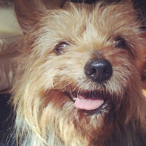 Dog, Mammal, Vertebrate, Canidae, Dog breed, Carnivore, Terrier, Australian terrier, Companion dog, Snout,