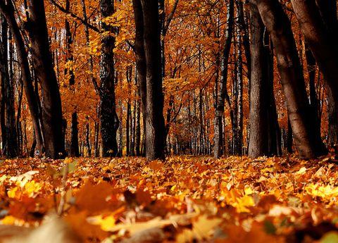 Deciduous, Nature, Wood, Natural landscape, Natural environment, Orange, Leaf, Autumn, Tree, Landscape,