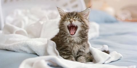 Tongue, Whiskers, Carnivore, Tooth, Fang, Comfort, Facial expression, Cat, Small to medium-sized cats, Felidae,