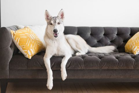 Couch, Living room, Furniture, Dog, Carnivore, Dog breed, studio couch, Pillow, Canidae, Laminate flooring,