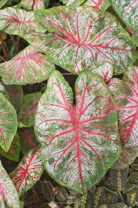Vegetation, Leaf, Pink, Terrestrial plant, Botany, Groundcover, Annual plant, Herbaceous plant, Perennial plant, Anthurium,