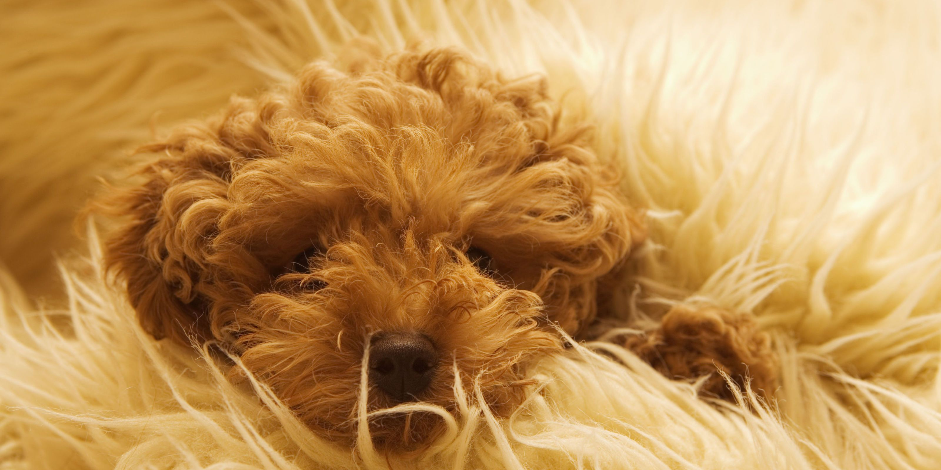 Most Inspiring Fluffy Brown Adorable Dog - landscape-1466190615-brown-poodle-brown-rug  Collection_20452  .jpg?resize\u003d768:*