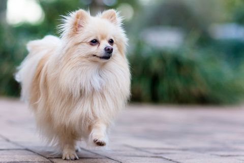15 Best Dog Breeds For Travel Types Of Dogs For Pet Travel
