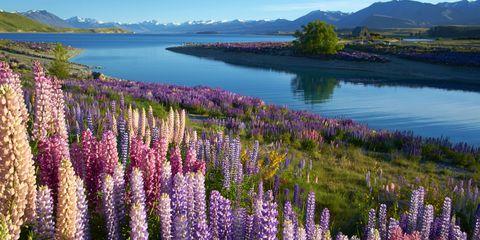 Plant, Natural landscape, Lavender, Bank, Flowering plant, Purple, Wilderness, Hill, Reservoir, Mountain range,