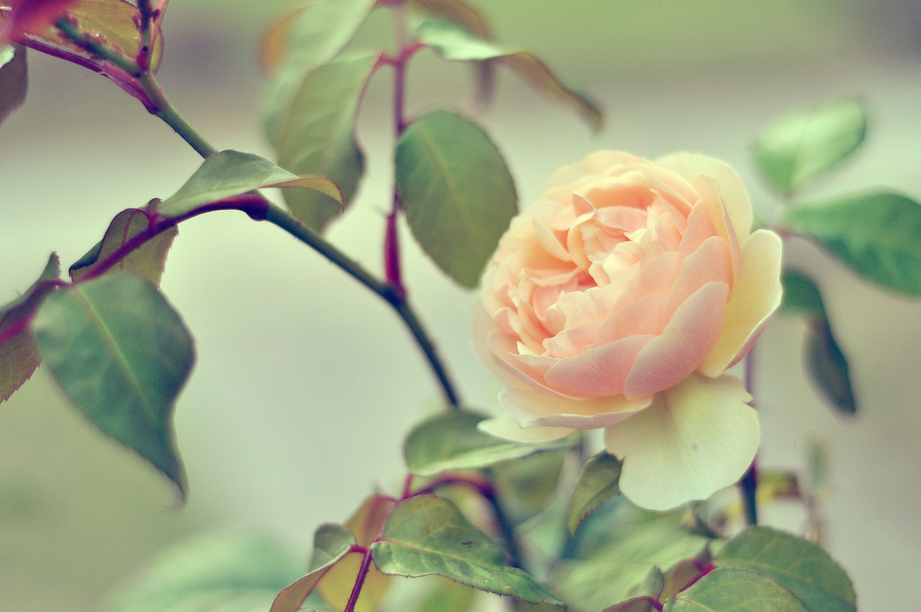 10 Rose Color Meaning Explanations - Meaning Of Rose Colors