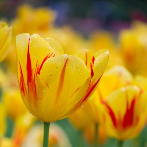 Flower meanings what do different flowers mean image getty images yellow tulips mightylinksfo