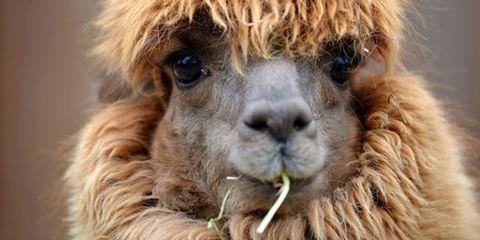 Llama, Brown, Skin, Vertebrate, Camelid, Terrestrial animal, Alpaca, Snout, Adaptation, Light,