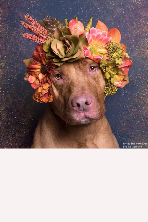 """Casper feeling contemplative in autumnal tones. """"I volunteer at animal shelters a lot, but I always tense around pit bulls because of things I'd heard in the media,"""" Gamand told us. """"I wanted to confront my apprehensions.""""  <a target=""""_blank"""" href=""""https://instagram.com/p/zw29owkPVt/"""">@sophiegamand</a>"""