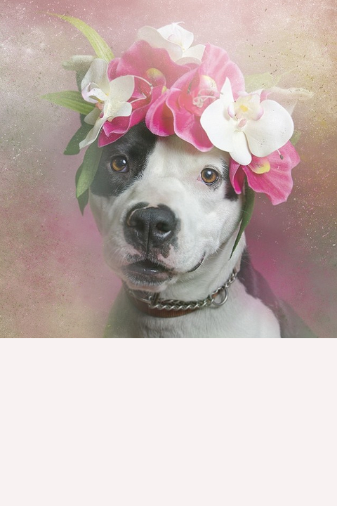 """Orchids for Fancy. """"After researching, I found out that more than one million pit bulls are euthanized each year in the US,"""" she said. """"Then the project started feeling more important to me.""""   <div><a target=""""_blank"""" href=""""https://instagram.com/p/rpnlTwkPdz/"""">@sophiegamand</a></div>"""