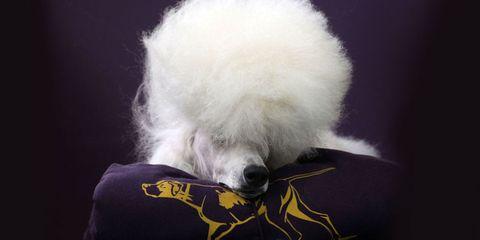 Carnivore, Mammal, Dog, Dog breed, Fur, Canidae, Companion dog, Active shirt, Dog supply,