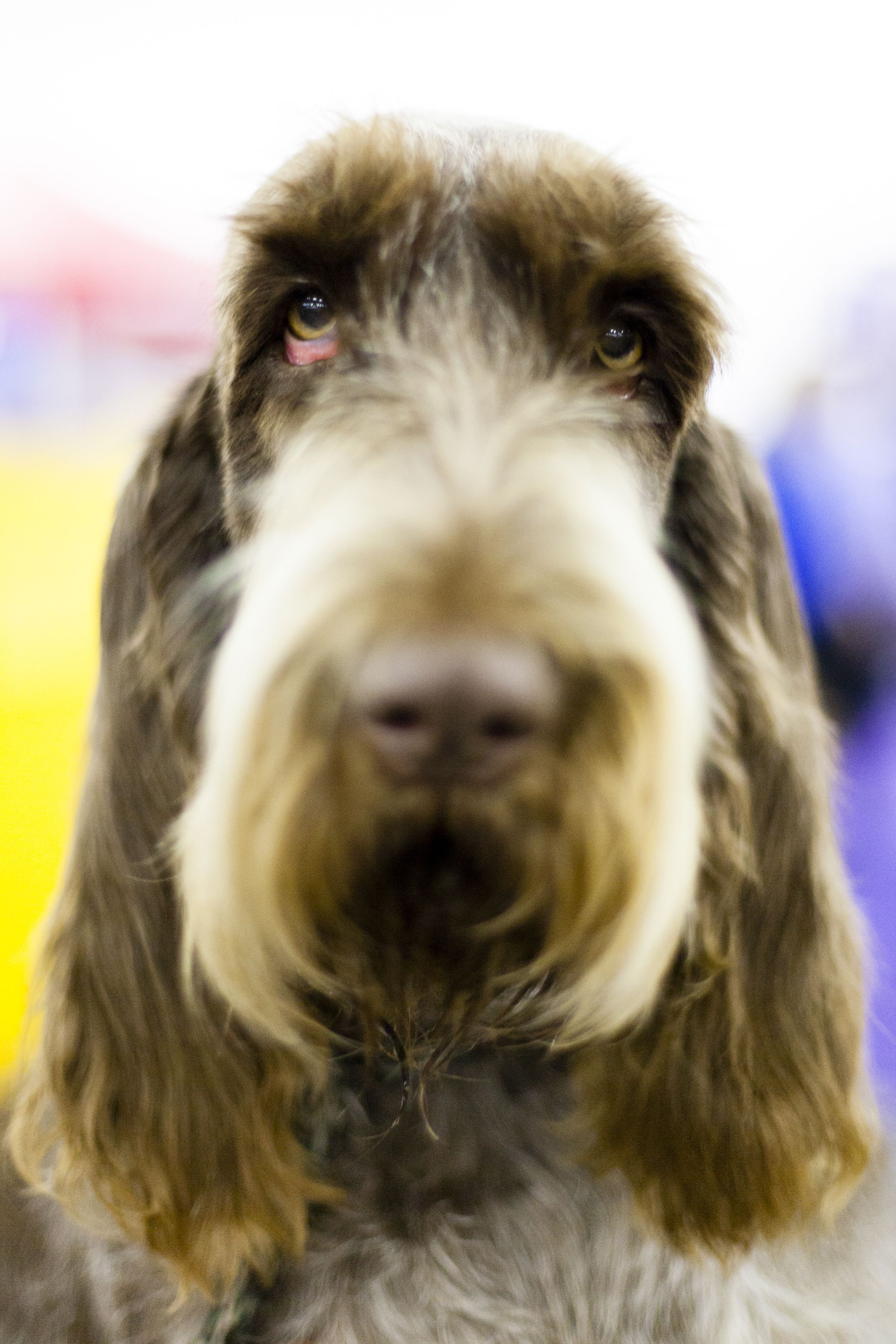 <p>Avexu Mondavi is a Spinone Italiano from the Finger Lakes. She gets a bath a couple of days before the show but then is allowed to play and get a little dirty in order to bring out the features and texture of her course coat. </p>