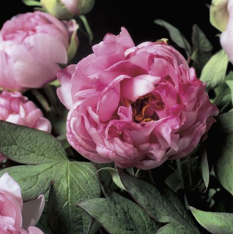 """<p>Nothing says <a href=""""http://www.townandcountrymag.com/leisure/arts-and-culture/reviews/a1900/peony-season-good-housekeeping/"""">peony</a> like a closet full of staple pieces that show off you femininity. You had a beautiful wedding, adorned with dusty-hued floral arrangements. As the peony is imported from all parts of the world, you are comfortable in any country you visit. </p>"""