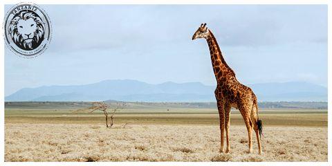 Giraffe, Nature, Giraffidae, Sky, Brown, Natural landscape, Natural environment, Plain, Landscape, Photograph,
