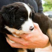 Dog breed, Vertebrate, Dog, Carnivore, Snout, Terrestrial animal, Fur, Puppy, Nail, Companion dog,