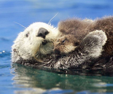 Mammal, Vertebrate, Otter, Sea otter, Marine mammal, North american river otter, Mustelidae, Carnivore, Snout, Terrestrial animal,