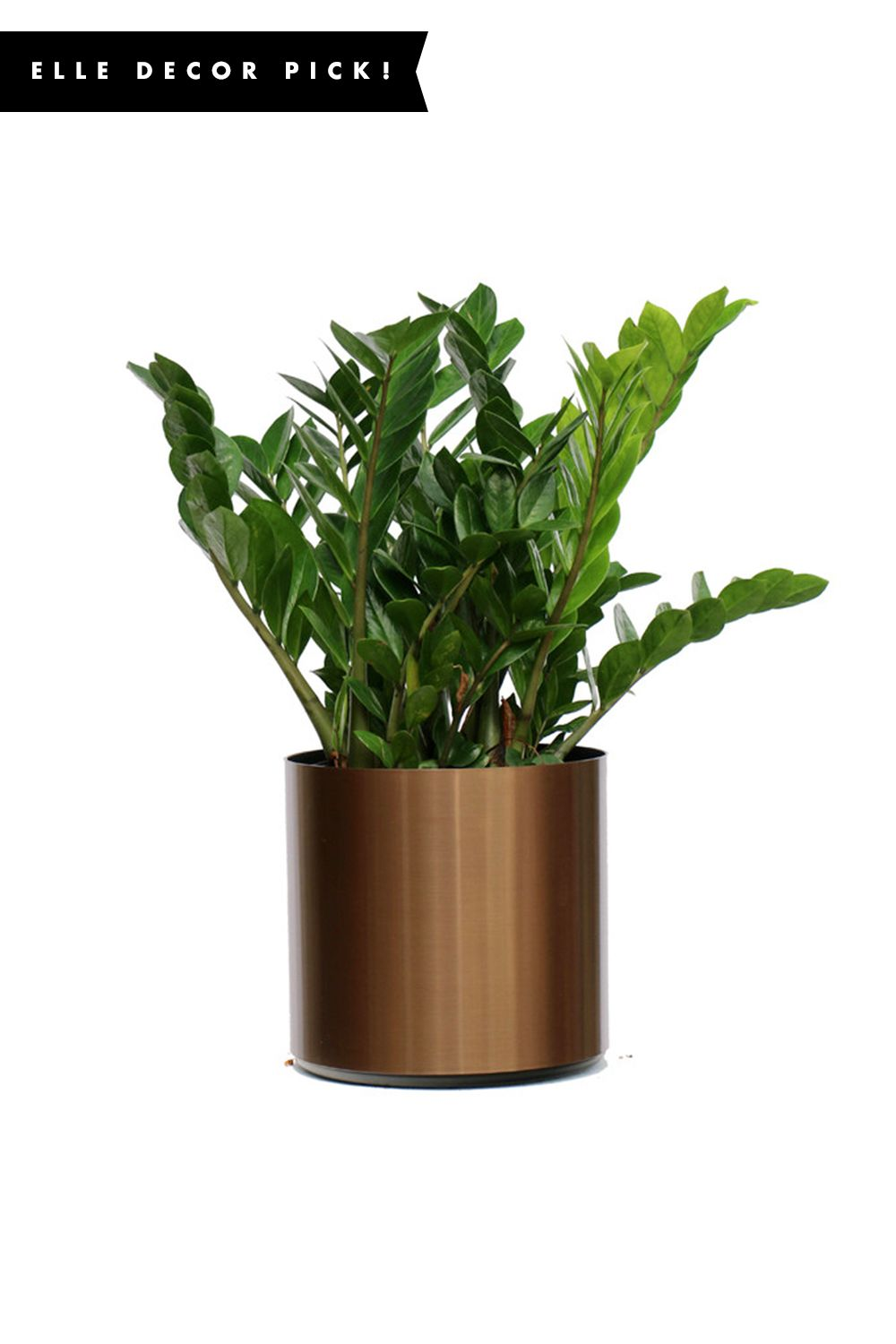 """<p>""""Trend alert: The ubiquitous fiddle leaf fig is being replaced by Zamioculcas Zamiifolia(or ZZ), the perfect companion for those chillier days ahead.<span class=""""redactor-invisible-space"""" data-verified=""""redactor"""" data-redactor-tag=""""span"""" data-redactor-class=""""redactor-invisible-space"""">""""</span></p><p><em data-redactor-tag=""""em"""" data-verified=""""redactor"""">SHOP NOW: Live 2' Zamioculcas Zamiifolia, $125; </em><a href=""""https://www.houzz.com/photos/74449443/Live-2-Zamioculcas-Zamiifolia-ZZ-Package-Bronze-contemporary-plants"""" target=""""_blank"""" data-tracking-id=""""recirc-text-link""""><em data-redactor-tag=""""em"""" data-verified=""""redactor"""">houzz.com</em></a></p>"""