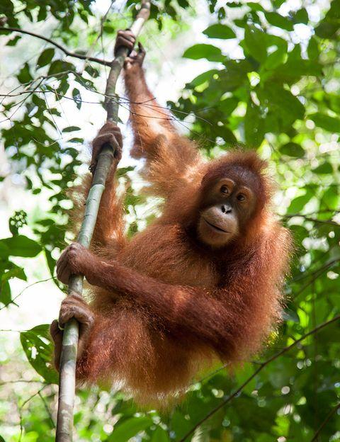 <p>Más de 50.000 orangutanes han muerto en Asia como consecuencia de la deforestación para poder plantar palmeras de aceite. Un 90% del hábitat del orangután en este planeta ha desaparecido por culpa de las empresas que quieren obtener aceite de palma, un ingrediente habitual de alimentos, cosméticos, productos de limpieza... Mira la composición y di 'no' al aceite de palma.</p>