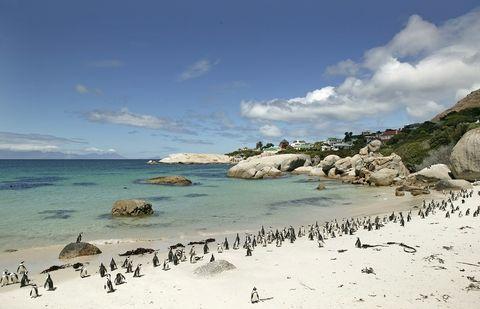 <p>Además de un paisaje de ensueño, la playa de Boulders Beach, a unos 40 minutos de Ciudad del Cabo, tiene unos habitantes de excepción: una colonia de pingüinos africanos, que puede observarse en su propio hábitat a través de unas pasarelas de madera situadas junto a la playa. Todo un lujo.</p>