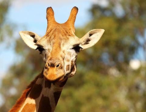 """<p>Los niños con vocación de exploradores verán su sueño hecho realidad en un safari. Mientras os adentráis en plena naturaleza recorriendo las sendas del parque de la mano de un guía, podréis ver en directo animales de los 5 continentes: jirafas, leones, cebras, hipopótamos e incluso, elefantes se pueden observar conviviendo los unos con los otros. En la península dos de los más visitados son el de Aldea del Fresno en <a href=""""http://www.safarimadrid.com/"""" target=""""_blank""""><strong>Madrid</strong></a> y el parque de <a href=""""http://www.parquedecabarceno.com/inicio"""" target=""""_blank""""><strong>Cabárceno</strong></a> en Cantabria, en el que uno de los mayores atractivos es el oso pardo.</p>"""