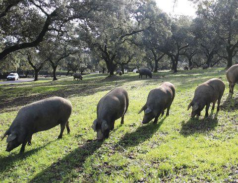 <p>Si te nombran la Sierra de Aracena y Picos de Aroche, quizás a la primera no lo relaciones con el buen jamón. Pero si te decimos que aquí, en este rincón ovetense es donde se encuentra, por ejemplo, la localidad de Jabugo, seguro que la cosa cambia...&nbsp;</p><p>La bodega de Cinco Jotas, pionera en la elaboración de jamones, tiene 200.000 hectáreas de dehesas milenarias repartidas por&nbsp;Huelva, Cádiz, Extremadura, Sevilla y Portugal, donde se crían en libertad al año unos 70.000 cerdos ibéricos. Estos se alimentan de bellotas de encinas, alcornoques y quejigos, además de setas, raíces, plantas, hierbas, etc; para lo que andan unos 14 km diarios. Este&nbsp; ejercicio es lo que determina esas patas estilizadas, de tobillo fino, que distigue el jamón de bellota (también la pezuña negra desgastada).&nbsp;</p>