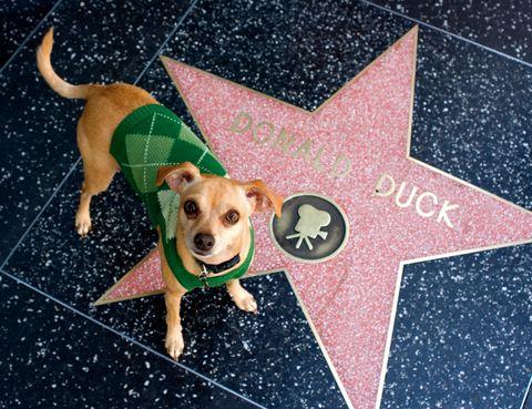 """<p>En Hollywood no sólo puedes encontrarte con actores mientras desayunas o patinas. La meca del cine pone literalmente los famosos a tus pies en el <a href=""""http://www.walkoffame.com"""" target=""""_blank"""">Paseo de la Fama,</a> una avenida situada en Hollywood Boulevard, plagada de rutilantes estrellas.&nbsp;</p><p>Aparte de comercios y restaurantes, aquí no hay mucho más; incluso puede que estos&nbsp;2,2 km te decepcionen, pero la oportunidad de buscar la estrella de tu actor favorito y fotografiarte con ella encandila a más de 10 millones de visitantes cada año. La historia de este cosmos cinéfilo que, en diciembre de 2013 contaba con 2.514 estrellas, también engancha: desde su creación, en 1958, ha habido casi de todo.&nbsp;</p><p>Julia Roberts, Clint Eastwood y George Clooney son algunos de los famosos que se han negado a recoger –y pagar los 150 euros de &quot;mantenimiento&quot;– esta estrella rosa coral de cinco puntas y bordeada en latón. Las hay con erratas y duplicadas y algunas, como la de Gregory Peck, han sido robadas. ¿Otro dato? El gran número de personajes que cuentan con estrella, desde la Rana Gustavo hasta el Pato Donald.&nbsp;</p><p>&nbsp;</p>"""