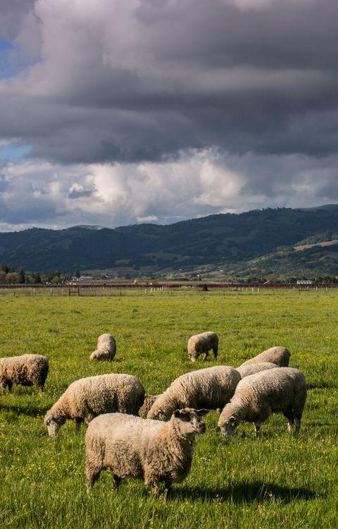 """<p>¿Te imaginas dirigir tu propio rebaño de ovejas? Ahora es posible en provincias como el <strong>País Vasco</strong>, que ofrece la oportunidad de conocer todo el proceso de elaboración del <strong>Queso de Idiazabal</strong> y ello conlleva el pastoreo.</p><p>El <strong>Parque Natural de Urkiola</strong> es el escenario elegido para pasear con estos animales y entrar al caserío Alluitz Natura donde el pastor Patxi Solana, te guiará con tu experiencia: primero ordeñar las ovejas y después, con la leche obtenida, elaborarás un queso fresco o una cuajada. <strong>Y psss...</strong> Si coincide en época, ¡también podrás esquilarlas!</p><p>La guinda de la experiencia, cómo no, la pone una deliciosa cata del famosos queso que nace en estas montañas.</p><p><strong>+info:</strong> <a href=""""http://turismo.euskadi.eus/es/top-viajes/pastor-por-un-dia/aa30-12378/es/"""" target=""""_blank"""">www.euskadi.eus</a>.</p>"""