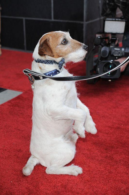 <p>El simpático perro de The artist ensaya su paseo por la alfombra roja. ¡Y acapara todos los flashes! Aunque todavía no sabemos si optara por algo de alta costura, nunca que sabe...</p>